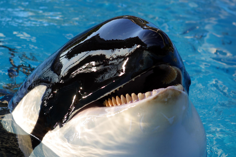 Orca Whale Eye Close Up